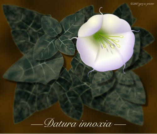 Datura innoxia �2007 Gary W. Priester - All rights reserved