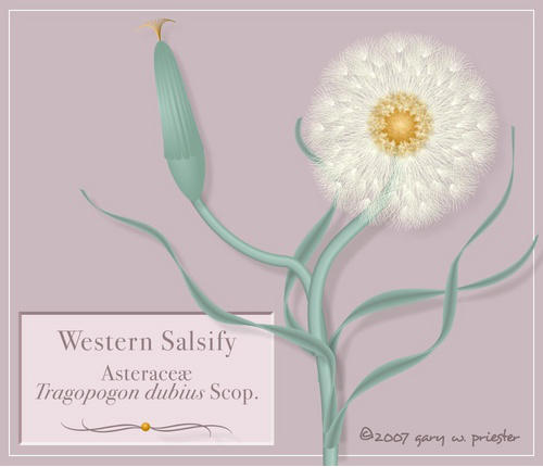 Western Salsify �2007 Gary W. Priester - All rights reserved